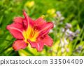 ดอกไม้บาน,ชื่อวิทยาศาสตร์ดอกลิลลี่,ดอกไม้ 33504409