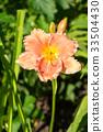ดอกไม้บาน,ชื่อวิทยาศาสตร์ดอกลิลลี่,สวน 33504430