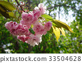 Cherry blossom at spring in Tohoku, Japan 33504628