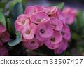 Flower Euphorbia milli Crown  thorns, Christ Thorn 33507497