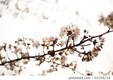 벚꽃 33508218