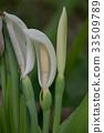 하스이모 꽃 33509789