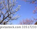매화 나무 숲과 푸른 하늘 33517233