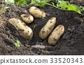 土豆 马铃薯 原野 33520343