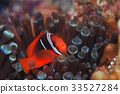 fish, fishes, anemone fish 33527284