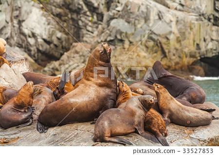 Steller's Sea Lions, Kenai Fjords National Park 33527853