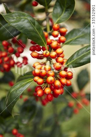 호랑가시나무 33532901