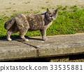 노려 보는 도둑 고양이 33535881