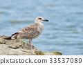 Pretty common gull 33537089
