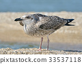 Portrait of a common gull 33537118