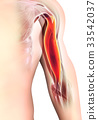 Medical and Scientific, Bicep Muscular. 33542037