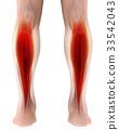 3D illustration gastrocnemius, Legs Muscle Anatomy 33542043