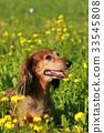 Cute senior dachshound in a meadow 33545808