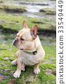 French Bulldog sitting in rocky coastline 33549449