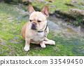 French Bulldog sitting in rocky coastline 33549450