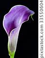 Purple Calla Lily 33550604