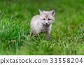 狐狸 幼兽 青草 33558204