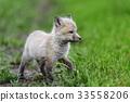 狐狸 幼兽 青草 33558206