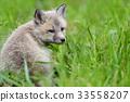 狐狸 幼兽 青草 33558207