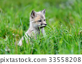 狐狸 野生生物 幼兽 33558208