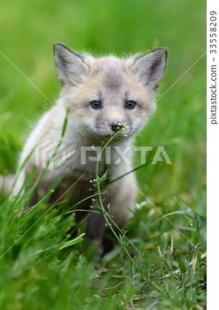 Fox cub in grass 33558209