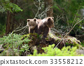 cub, brown, bear 33558212
