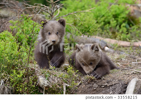 Brown bear cub 33558215