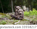 Brown bear cub 33558217