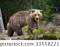 brown, forest, bear 33558221
