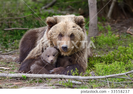 Brown bear and cub 33558237