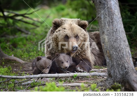 Brown bear and cub 33558238