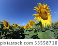 Sunflower field with blue sky 33558718