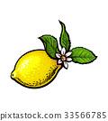 vector, lemon, flower 33566785