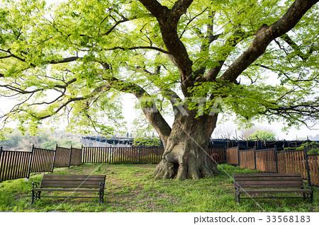 금동느티나무,정읍시,전북,한국 33568183