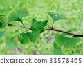 Detail of Ginkgo Blades with Drops of Water 33578465