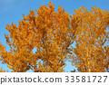 Aspen crown in golden autumn foliage 33581727