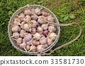 Round chicken coop with harvest of garlic 33581730