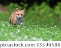 Kita狐狸的孩子们 33596586