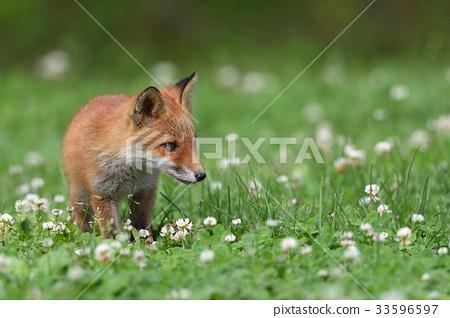 Kita狐狸的孩子们 33596597