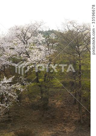 벚나무 33596678