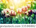 Tulips in rim light 33596882