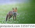 Kita狐狸的孩子们 33597150