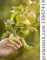apple, picking, fruit 33607419