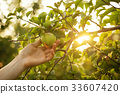 apple, picking, orchard 33607420
