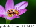 couple lady insect on flower 33614326