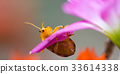 couple lady insect on flower 33614338
