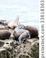 拉荷亞 海豹 海岸 33618363