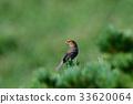 松雀 野生鳥類 野鳥 33620064