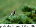 松雀 野生鳥類 野鳥 33620182