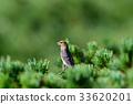 松雀 野生鳥類 野鳥 33620201